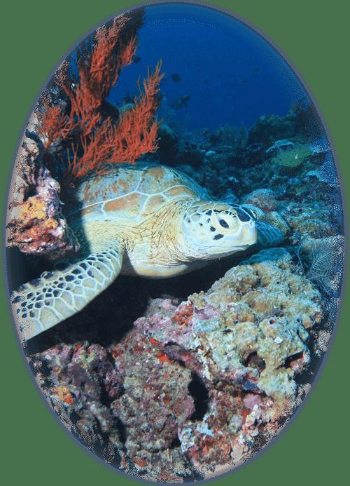 Tortue marine